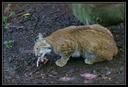 Lynx et autres felins